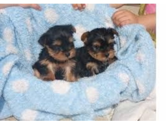 Akc Trained Teacup Yorkie Puppies Animals Gulfport Mississippi