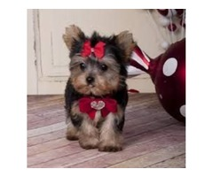 Cute And Adorable Tea Cup Yorkie Puppies For Adopt