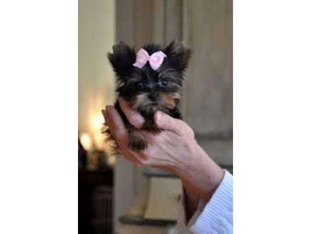 Beautiful C kc Reg  T cup Champion Yorkie puppy - Animals