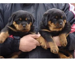 very lovely, cute and healthy pups.