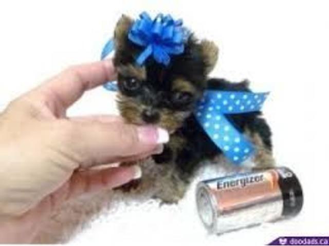 Cutest Female Teacup Yorkie Puppy - | free-classifieds-usa.com