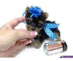 Cutest Female Teacup Yorkie Puppy -