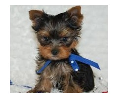 Top Quality Teacup Yorkie Puppies  ready