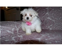 Amazing Havanese, Hypo-Allergenic Coton de Tulear and Beautiful Maltese Puppies For Sale,,