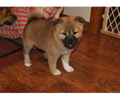 Shiba Inu puppies for rehoming