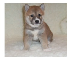 A.K.C Registered Shiba Inu puppies for sale