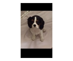 Pretty Cavalier King Charles Spaniel puppies available