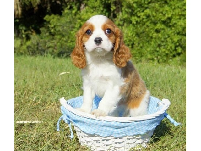 Admiring Cavalier King Charles puppies for sale | free-classifieds-usa.com