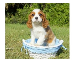 Admiring Cavalier King Charles puppies for sale
