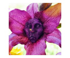 Egrow 100Pcs/Pack Monkey Face Orchid Seeds Old People Face Flower Seeds Planting