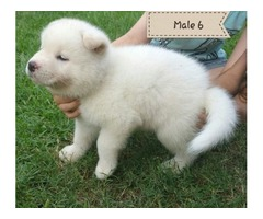 Pure White Akita puppies for sale