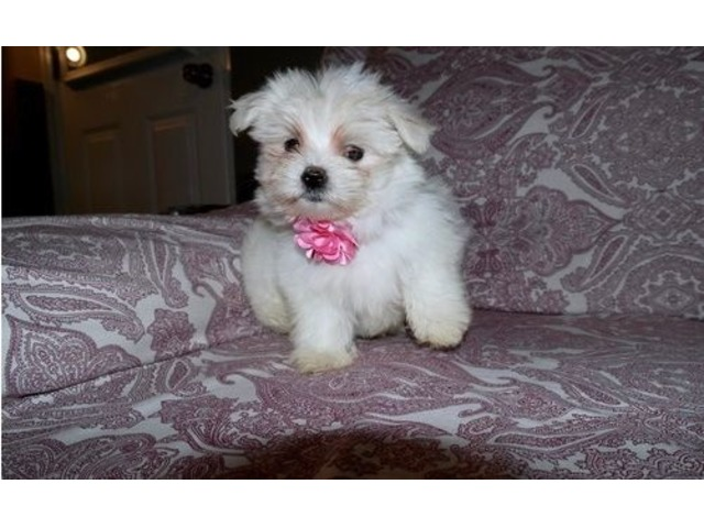 Adorable Maltese puppies for rehoming | free-classifieds-usa.com