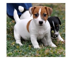 CuteJack russel spaniel puppies for sale