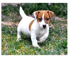 Jack Russell Terrier puppies availble for sale