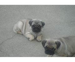 Two pug puppies for rehoming