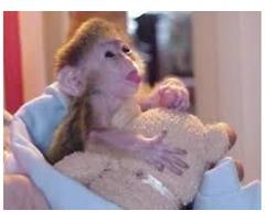 AKC Capuchin monkeys For Re homing