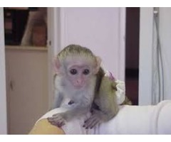 Very playful Capuchin monkeys ready  For Re homing
