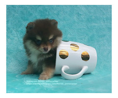 Teacup Pomeranian Puppy Female, Rare chocolate with tan color