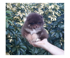 Exclusive Tiny Lavender Chocolate Pomeranian Puppy Male