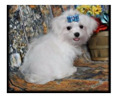 Nice Maltese puppies for rehoming.;