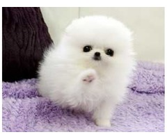 Male and Female Pomeranianss Puppies Available (234) 221-8948