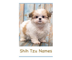 Looking for a small shih-tzu, Maltese, Yorkie or Maltipoo for $500