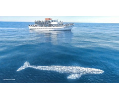 Book Whale watching tours in california all over the year - San Diego whale watch