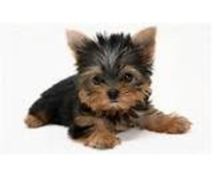Male And Female Yorkie Puppies available.
