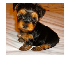 Very Playful and friendlyYorkshire Terrier Puppies For Sale | free-classifieds-usa.com