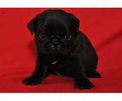 Top Quality Black Pug Puppy