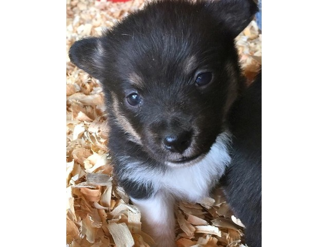 Pembroke Welsh Corgi puppies for rehoming   free-classifieds-usa.com