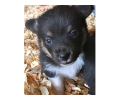 Pembroke Welsh Corgi puppies for rehoming