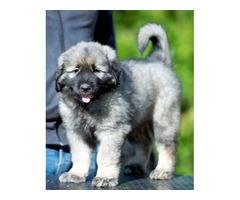 Yugoslavian shepherd dog - puppies