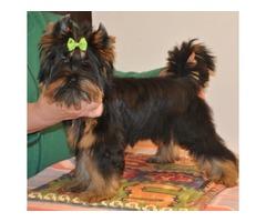 Adorable Miniature Yor kie dogs - for sale