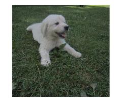 Leia!! Gorgeous Female Golden Retriever Pup.