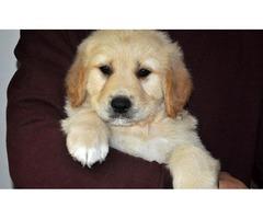 Bentley!! Gorgeous Golden Retriever Pup