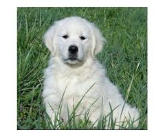 Sammy!! Beautifully Male Golden Retriever Pup.
