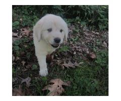 Stark!! Charming Golden Retriever Pup.