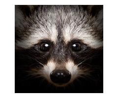 Raccoon Removal San Antonio   Animal Control San Antonio
