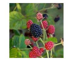 Shop for Rubus Baby Cakes Blackberry Plant - 2 Gallon Pot