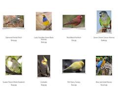 Lutino Peach Face Lovebird   free-classifieds-usa.com