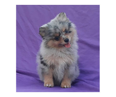 Exclusive Blue Merle Pomeranian Puppy Male