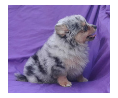 Exclusive Blue Merle Pomeranian Puppy Male | free-classifieds-usa.com