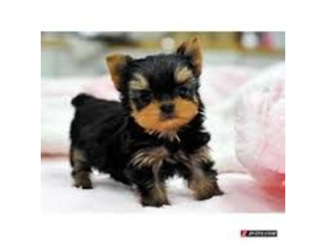Akc Micromini Teacup Yorkie Puppies Text 443 267 8170