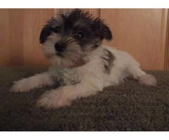 7 Weeks Old Miniature Schnauzer Puppies For Sale