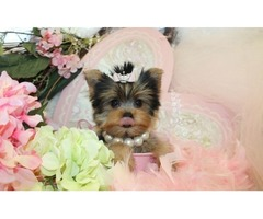 T-Cup Yorkie puppies for adoption