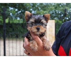 Gorgeous male and female teacup Y.O.R.K.I.E PUPPY for Re homing