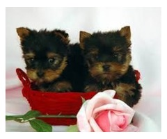 Adorable  Teacup Yorkie for free adoption