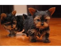 cute loving Yorkie Puppies for sale