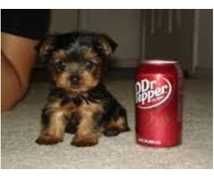 Free Yorkie Puppies Male & Female